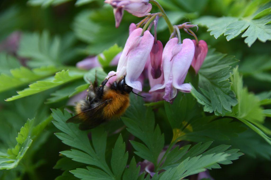 kimalainen kevätpikkusydämen kukassa