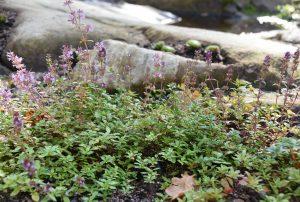 matala kasvi, jolla vaaleanpunaiset kukat