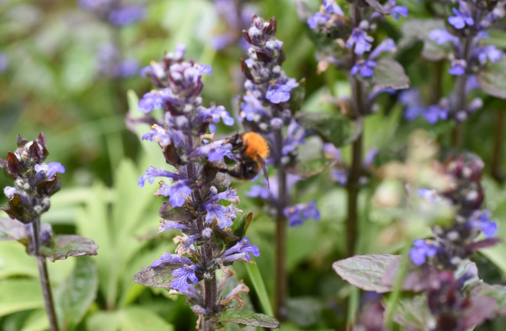sininen kukka, jossa yksi kimalainen