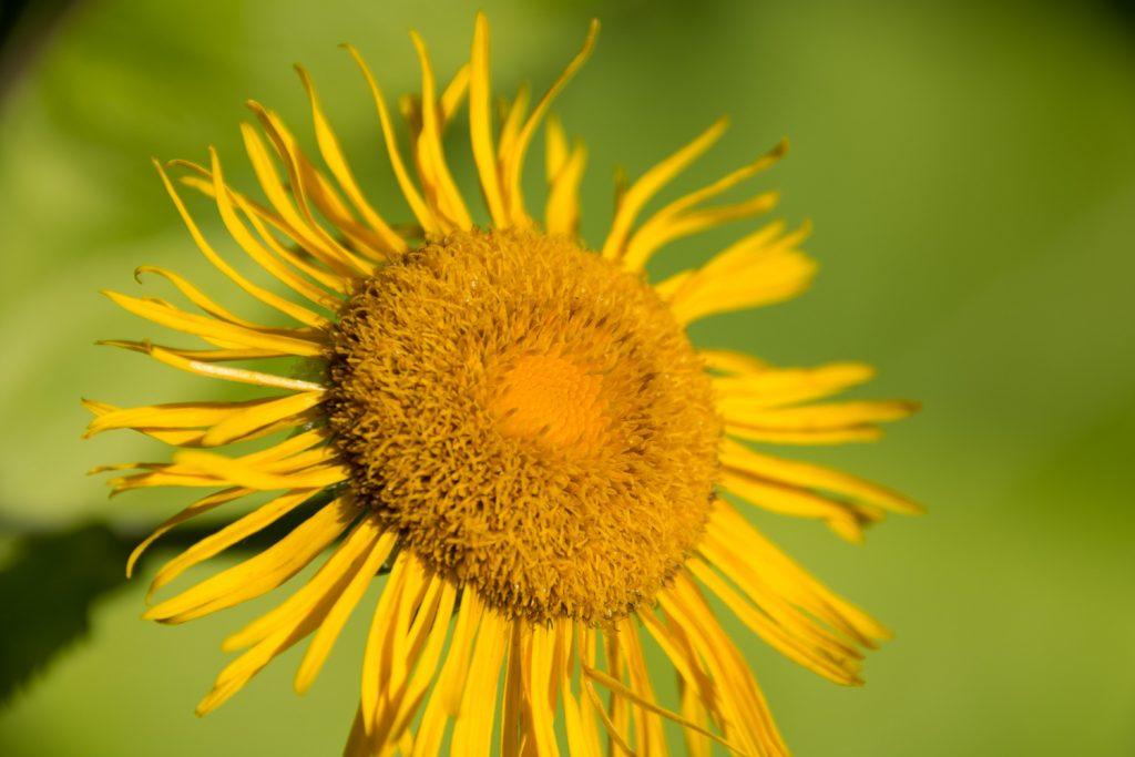 suuri keltainen kukka