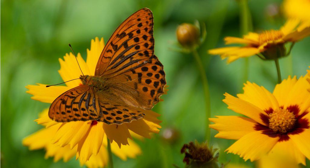 kaunis perhonen, keisarinviitta nimeltään isokaunosilmän kukalla