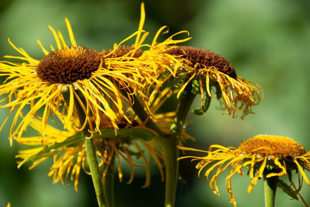 keltainen mykerökukkainen kukka, jonka laitalehdet ovat hieman repsahtaneet