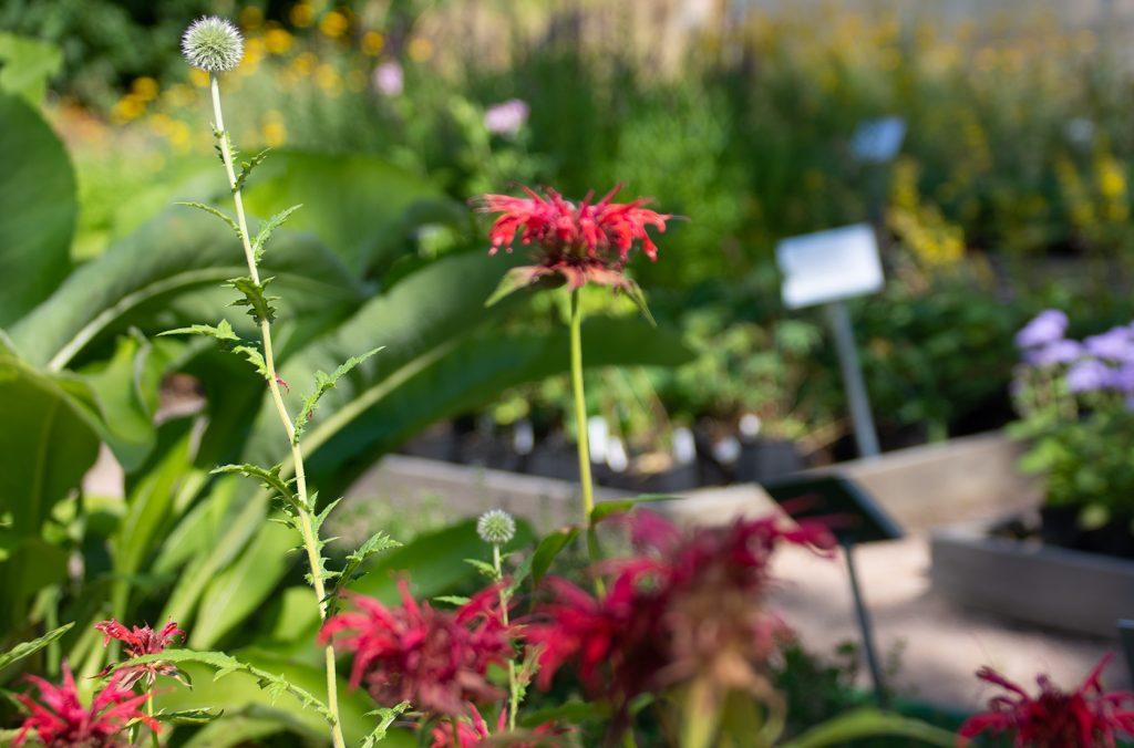 taimiston kukkivia taimia, etualalla punainen kukka