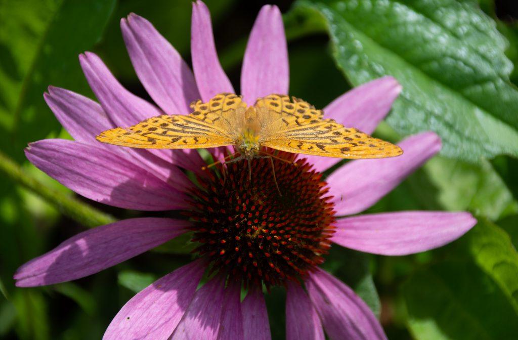 iso perhonen, keisarinviitta kaunopunahtun kukalla