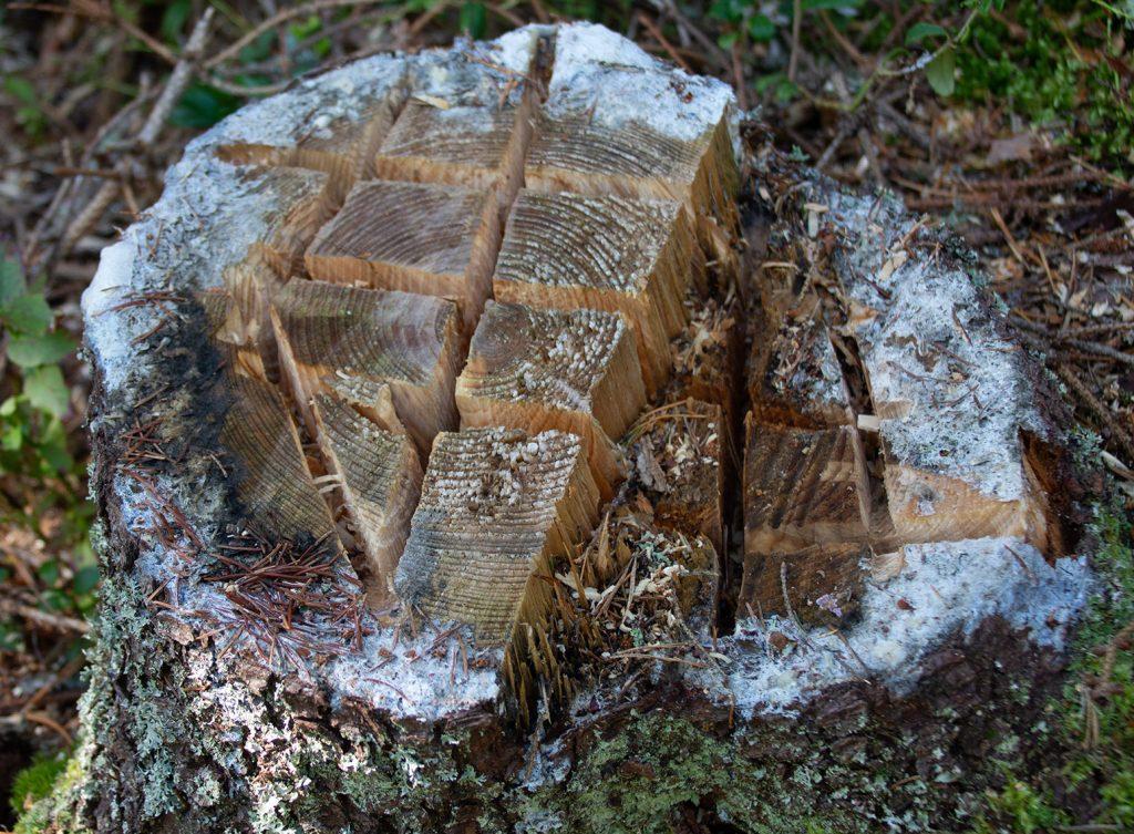puunkanto, johon on sahattu uria maksaruohoja varten