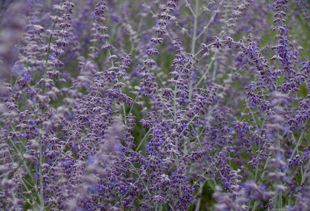 sulkapiiskan sinisiä kukkia