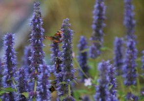 violetinvärinen kukka