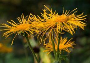 keltaisia kukkia, joilla hapsottavat teralehdet