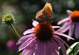 punahattu, jolla perhonen